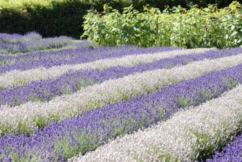 Sequim Lavender Weekend